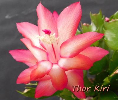 Thor Kiri