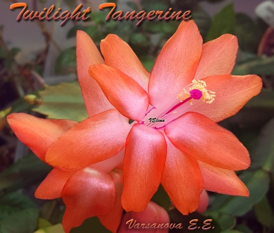 Twilight Tangerine