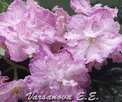 ЛЕ-Марципановая Роза