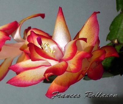 Frances Rollason