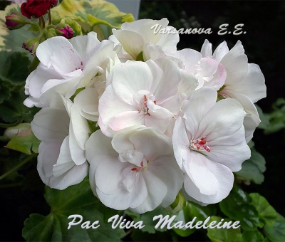 Pac Viva Madeleine
