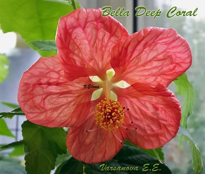 Bella Deep Coral
