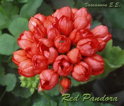 Red Pandora