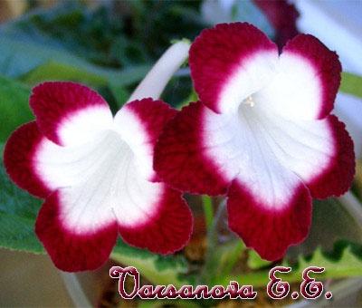 Fleischle Roulette Cherry