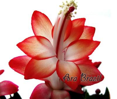 Ara Brazil