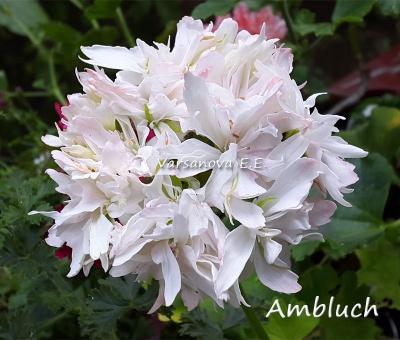 Ambluch