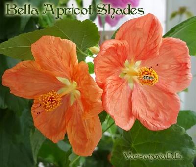 Bella Apricot Shades