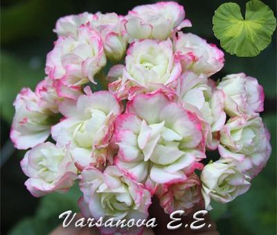 Happy Appleblossom Rosebud