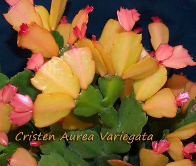 Cristen Aurea Variegata