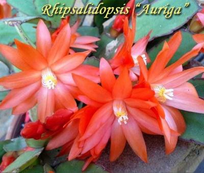 Rhipsalidopsis Аuriga