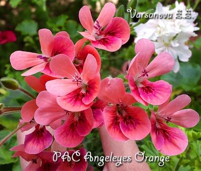 PAC Angeleyes Orange