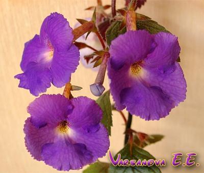 Purple King