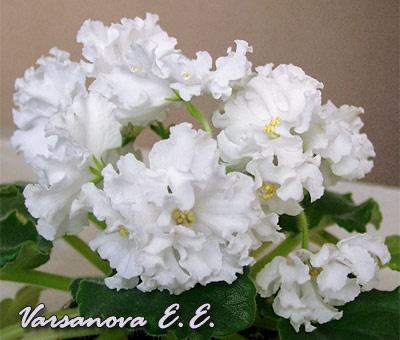 ЕК-Белая Лилия