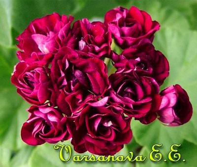 Ungarisk Appleblossom Rosebud