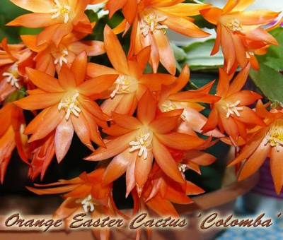Rhipsalidopsis Orange Easter Cactus 'Colomba'