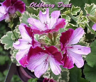Oldberry Duet