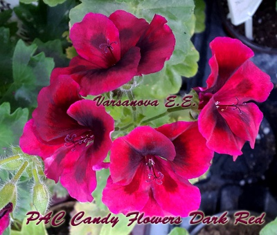PAC Candy Flowers Dark Red