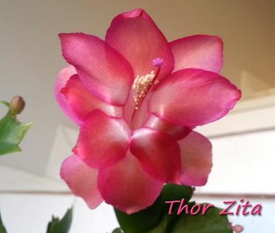 Thor Zita
