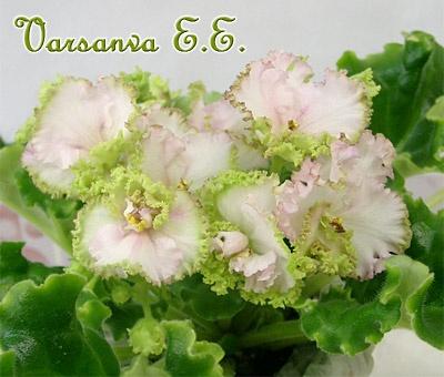 ЛЕ-Зеленая Роза