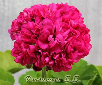 Rushmoor Golden Rosebud