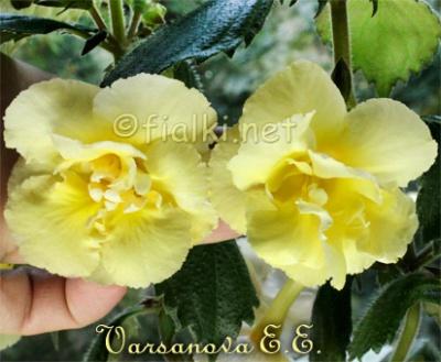Yellow English Rose