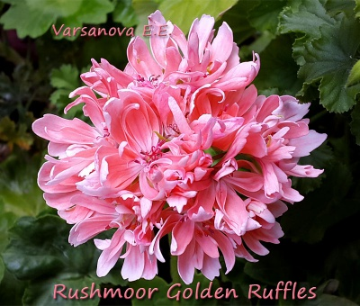 Rushmoor Golden Ruffles