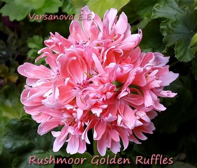 Rushmoor Golden Ruffles