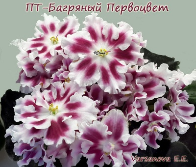 ПТ-Багряный Первоцвет