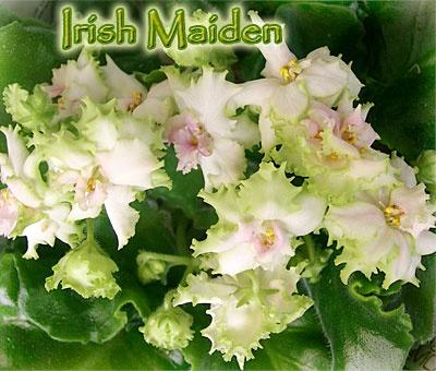 Irish Maiden
