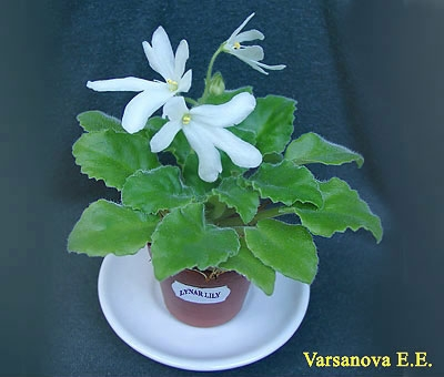 Lunar Lily
