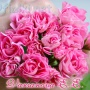 Swanland Pink / Australian Rosebud