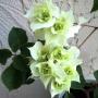 Limberlost Beauty