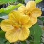 Bella Yellow