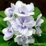 Blue Victoria