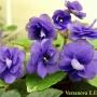 Blueberries_n Cream