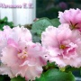 ЕК-Розовая Гвоздика